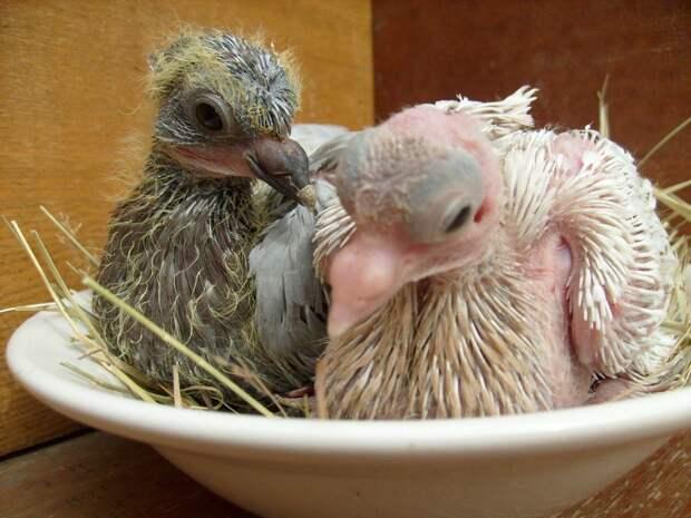 Секрет раскрыт: вот почему мы никогда не видели птенцов голубей