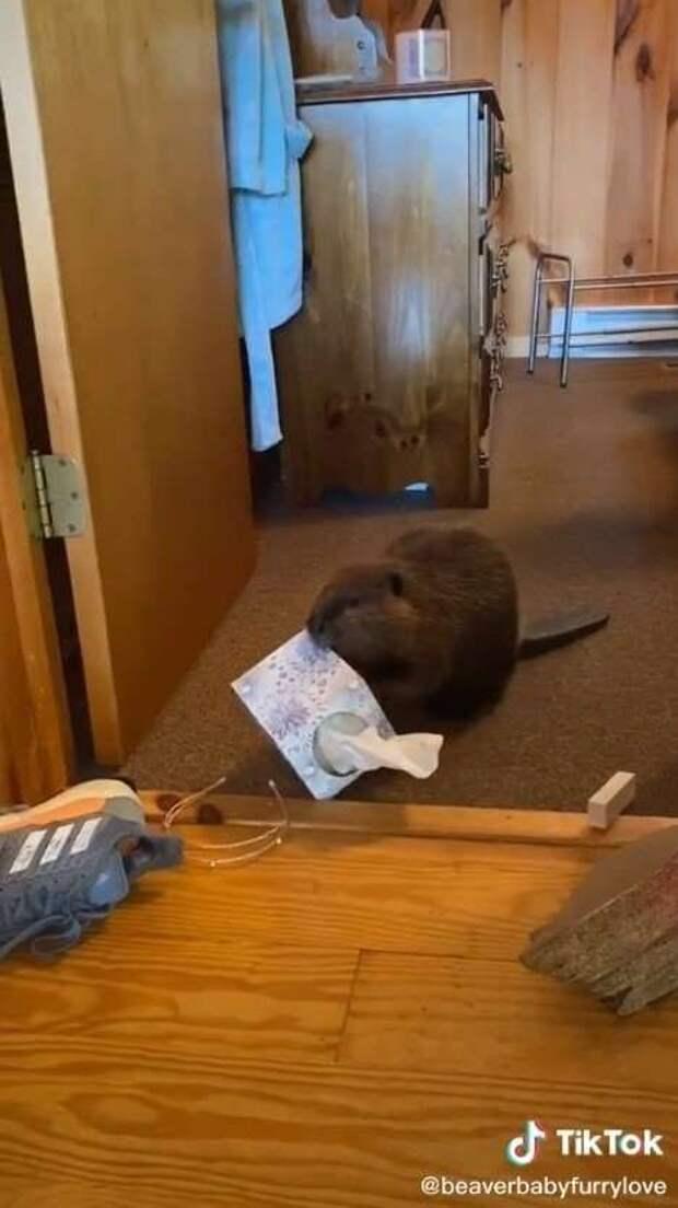 Девушка показала, как живётся в одном доме с бобром (4 фото)