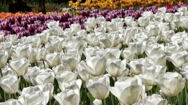 Тюльпаны Кёкенхоф