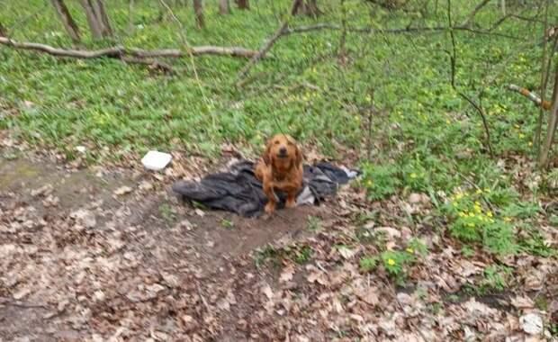 Таксу с больными лапками оставили в лесу. Животное едва не погибло, а после его чуть не усыпили