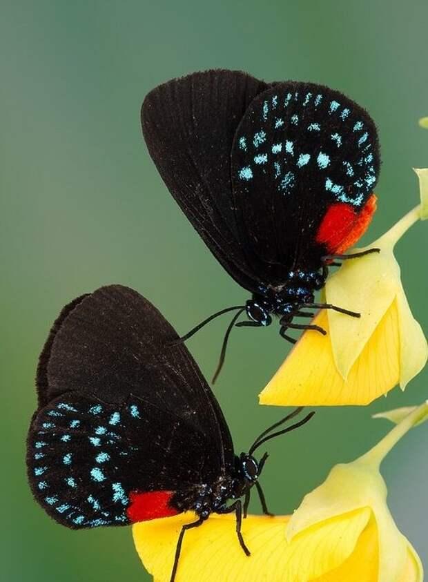 Самки живут дольше самцов. бабочки, интересное, красота, насекомые
