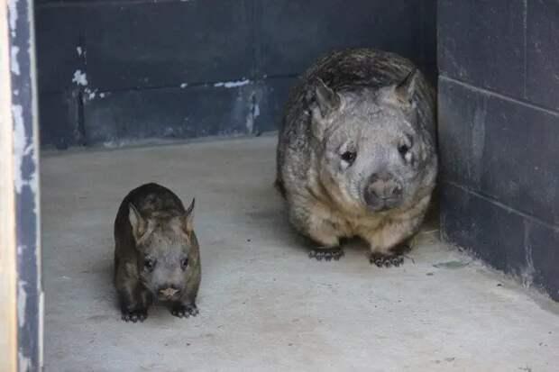 10 милых и смешных фото детенышей вомбатов