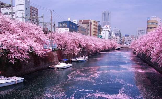Цветение сакуры. Фото взято из открытых источников
