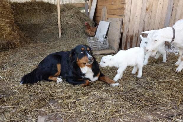 Ладе 1 год   она хорошая пастушка