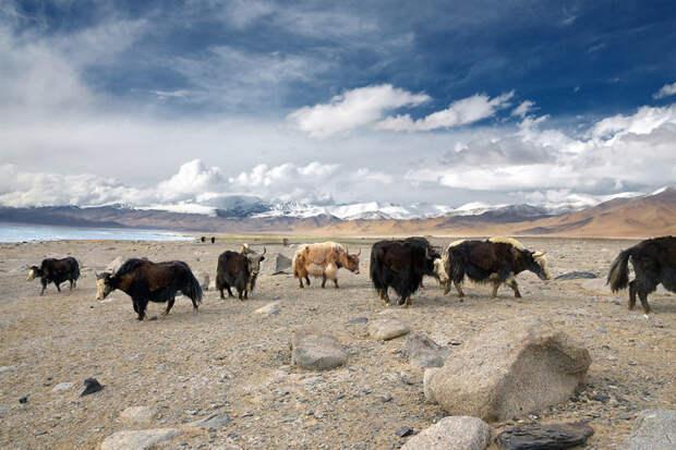Яки в горах Памира. Восточный Таджикистан красота, путешествия, фото