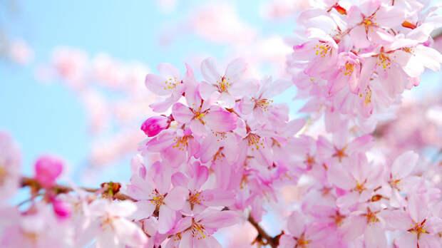 Сезон цветения сакуры начался в Сочи