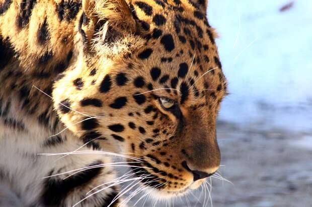 В Приморье сняли старейшего «леопарда-кинозвезду»