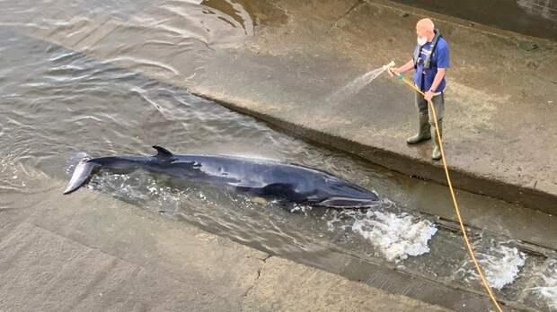 Жители Лондона спасли застрявшего в шлюзе Темзы китёнка