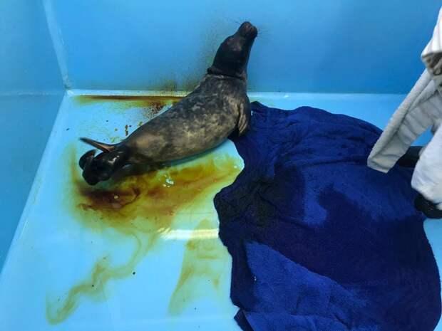 «Постоянно пытается укусить». Тюленёнок «с поплавком», найденный под Петербургом, идёт на поправку