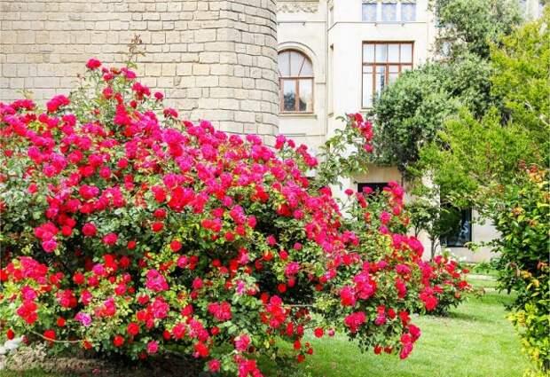 с чем рядом сажать розы