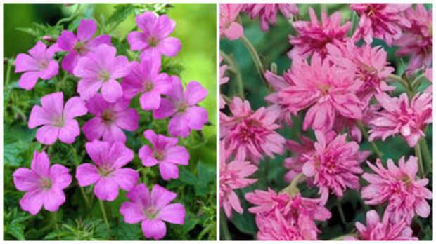 Герань оксфорская Rose Clair. Фото с сайта www.99roots.com. Герань оксфорская Southcombe Double. Фото с сайта www.vasteplant.be