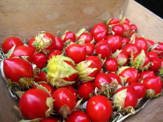 Паслен гулявниколистный: вкус черешни с томатом