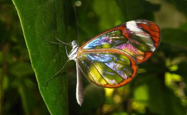 Как выглядит бабочка Грета Ото