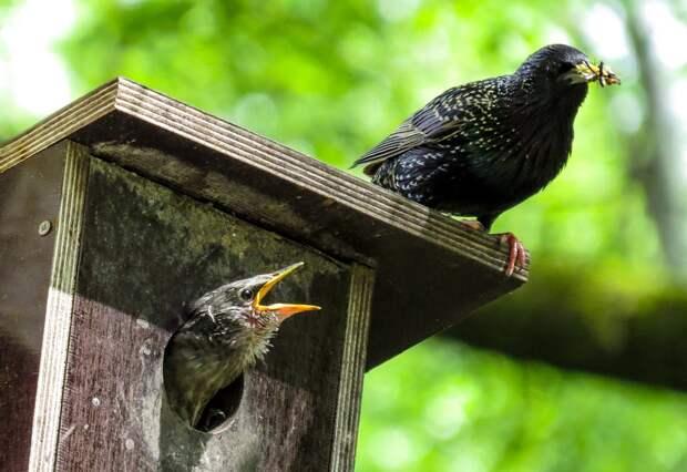 Птица, Смотреть, Весна, Скворечник, Глянцевая Старлинг
