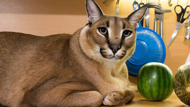 Кто же на самом деле этот кот Шлепа, самый популярный котомем? (ФОТО)