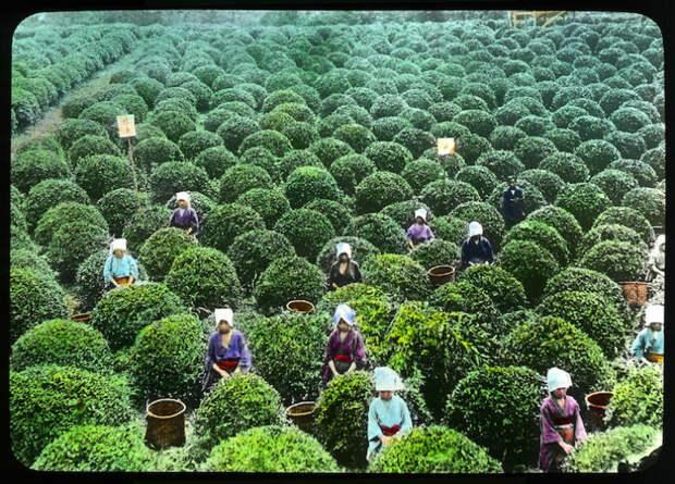 С куста до потребителя: как проходило производство чая в Японии начала XXвека