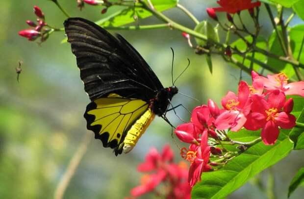 Золотая птицекрылка