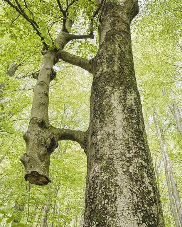 Деревья, как и люди, могут спасать друг друга