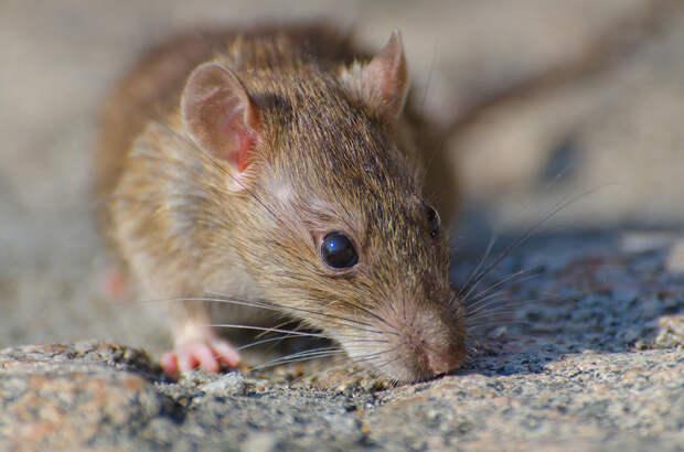 Крысу-сапёра из Камбоджи провожают на пенсию