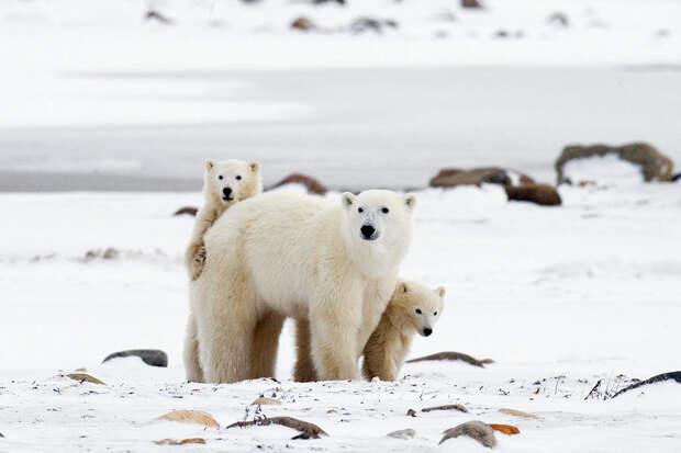 Якутянин выжил в схватке с белым медведем