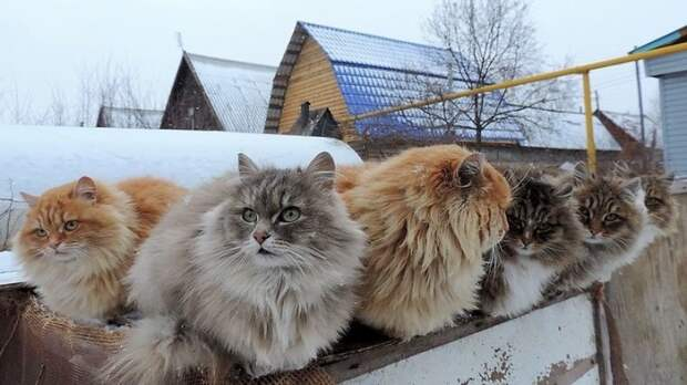 Кошландия — огромная семья сибирских кошек, живущая в Барнауле барнаул, домашний питомец, животные, кошка, семья, сибирь