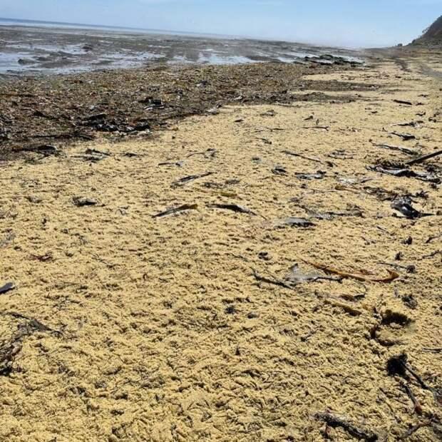 Южный берег Сахалина завалило тоннами икры сельди после шторма: Новости ➕1, 14.05.2021