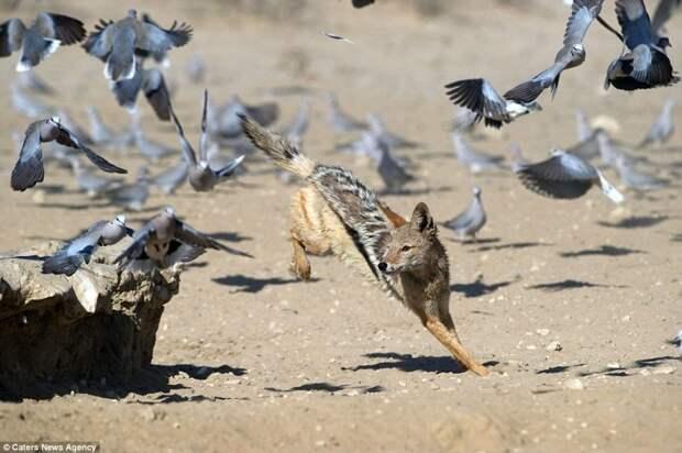 Фотограф заснял как шакал охотился на голубей голубь, животные, фотограф, шакал