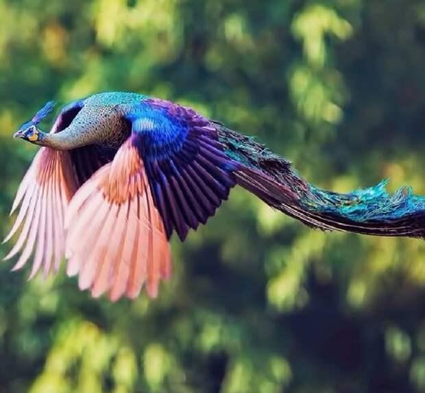 А вы видели, как выглядит в полёте павлин? Потрясающе! животные, забавно, неожиданно, нужный момент, подборка, природа, фото, юмор