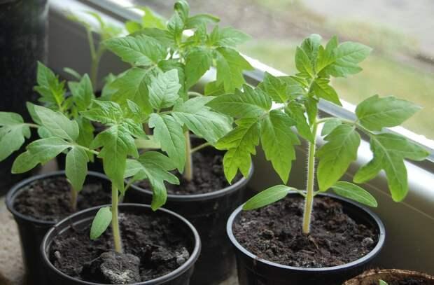 Десять «НЕ» при выращивании рассады