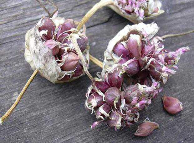 Выращивание чеснока из воздушных бульбочек