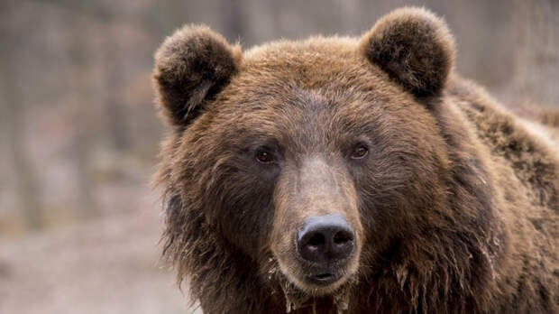 Принца Лихтенштейна обвинили в браконьерстве за убийство медведя