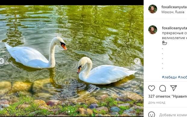 Фотокадр: романтичная прогулка лебедей в Лианозовском парке