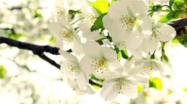Скачать обои листья, Яблоня, ветка, весна, бутоны, белые, цветение - картинка #4097 c разрешением 1280x1024
