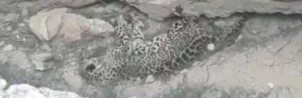 Экоактивист: леопард в Мангистау умер три месяца назад