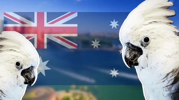 Армия диких попугаев атаковала Австралию (видео)