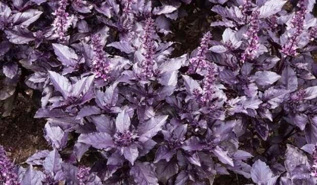 Фиолетовые овощи – королевский цвет не только для клумбы