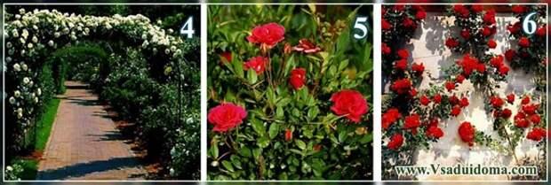 Виды роз (фото) —  посадка и уход на террасе и в саду