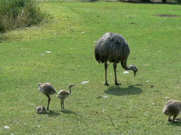 Американский страус нанду быстро бегает, чтобы уберечься от хищников