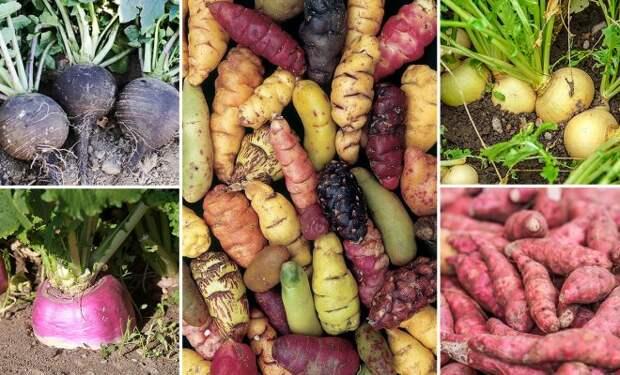 13 редких корнеплодов для вашего огорода – удивите соседей!