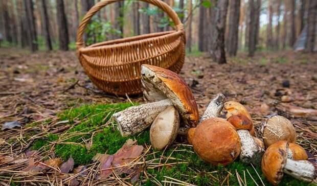Любителям сбора грибов пообещали незакрывать бесплатный вход влес