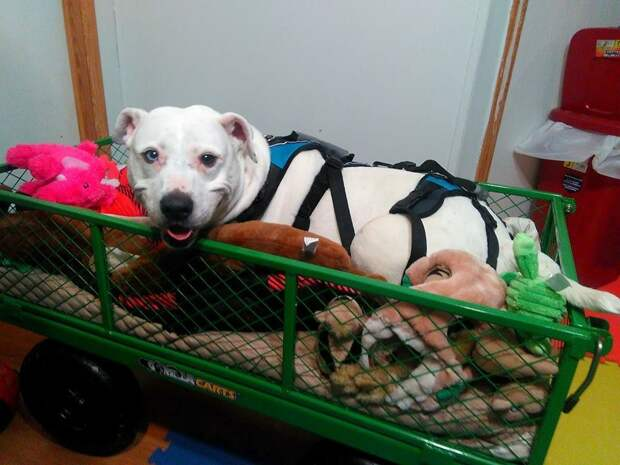 Собака, которая не может ходить, ездит в собственном вагоне