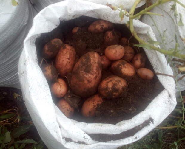 Вырастила отличный урожай картошки в мешках!