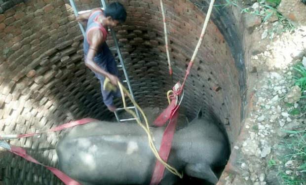 Слон копал стены ямы несколько часов: его услышали люди и пришли на помощь