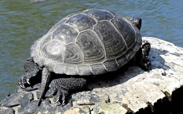 В рязанском пруду проснулись черепахи