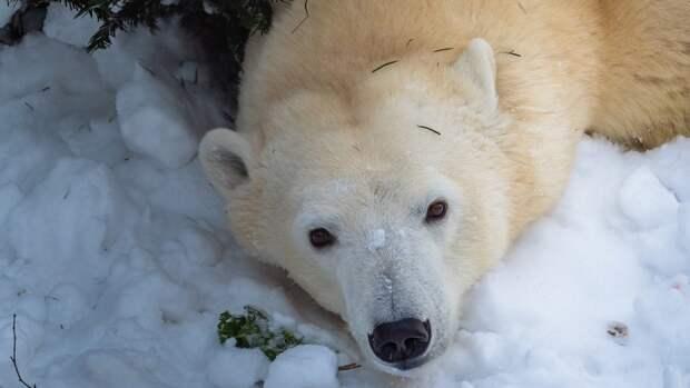Московский зоопарк запустил в соцсетях конкурс по выбору имени для белой медведицы