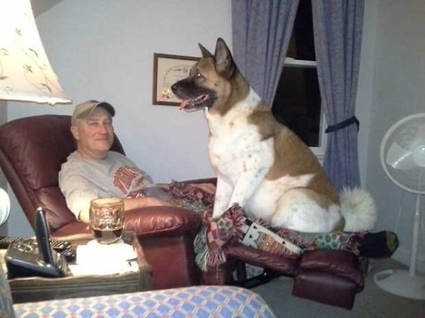 Человек, зачем тебе телевизор? Я же интереснее! Эти забавные животные, животные, забавно, зверские шутки, смешно, собаки, ты не поверишь, фото
