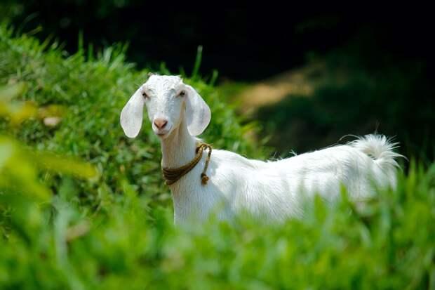 Интересные факты о козах, которые могут удивить