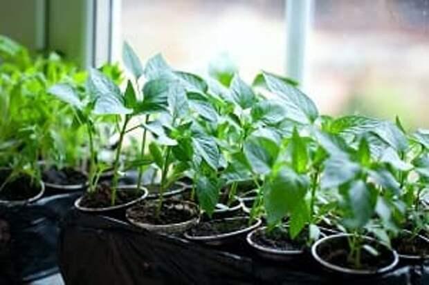 Эта подкормка рассады томатов и перцев при высадке в грунт поможет увеличить их урожайность