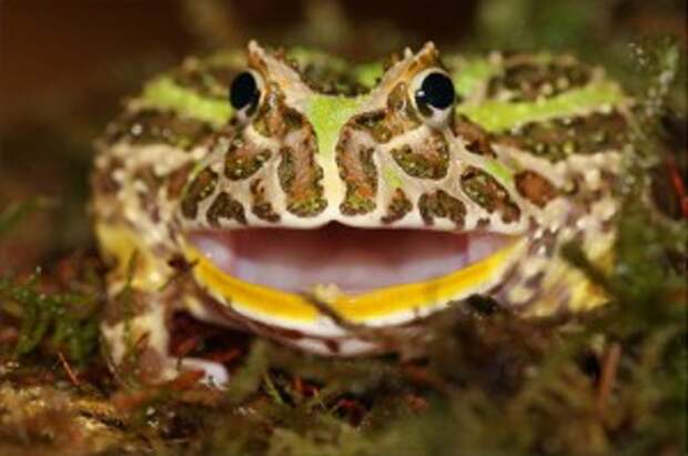 необычные домашние животные: рогатая лягушка