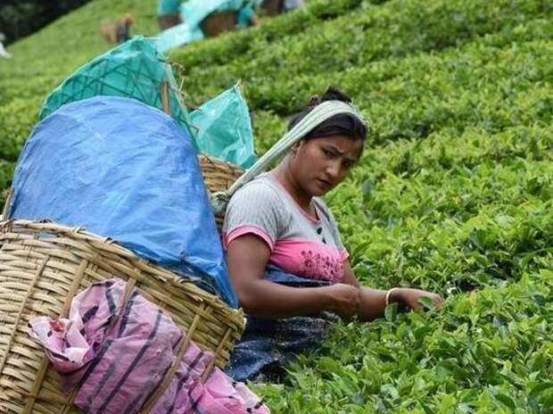 Цены на индийский чай повысятся из-за COVID-19 и засухи